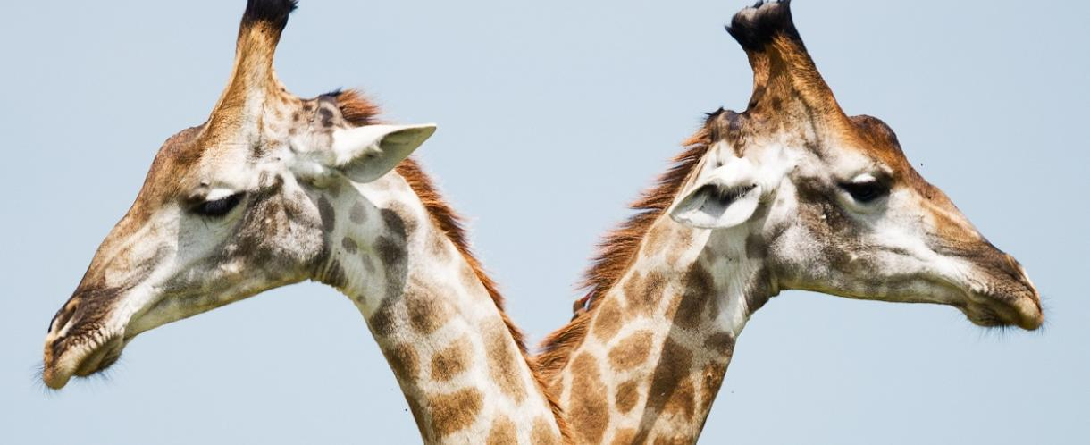 Image of two giraffes looking in opposite directions
